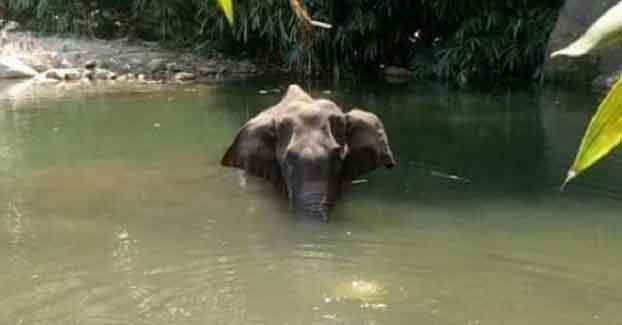 Kerala Female Elephant