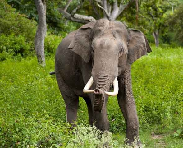 Elephant spends 16 hours a day eating food